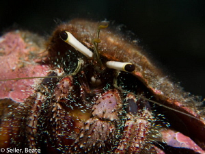 Hermit crab by Beate Seiler 